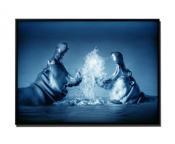 105x75cm Leinwandbild Petrol Nilpferde Kampf im Wasser