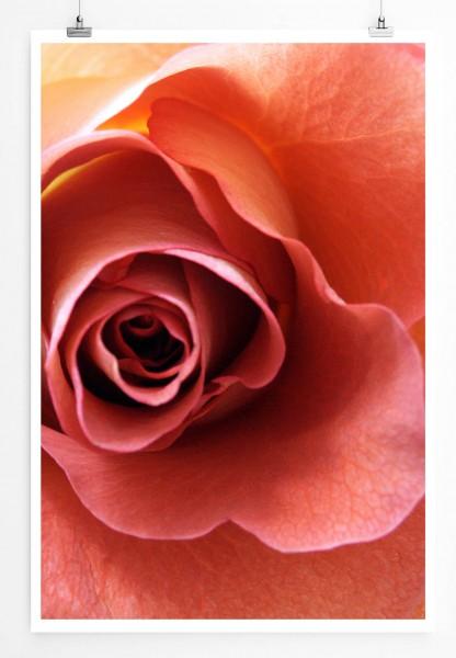 60x90cm Naturfotografie Poster Lachsfarbene romantische Rose