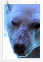 60x90cm Tierfotografie Poster Polarbär im Porträt