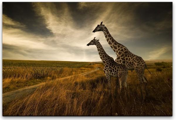 Giraffen im Sonnenuntergang Wandbild in verschiedenen Größen