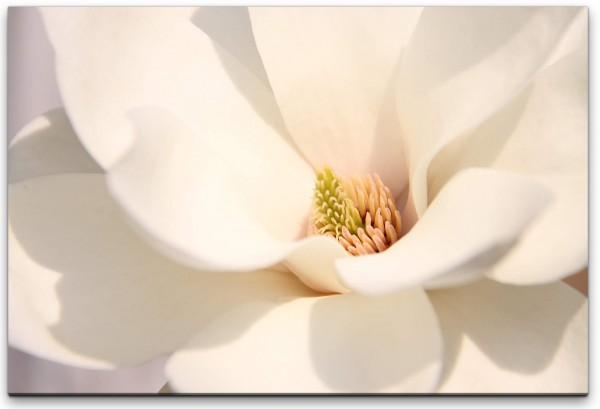 weiße Magnolienblüte Nahaufnahme Wandbild in verschiedenen Größen