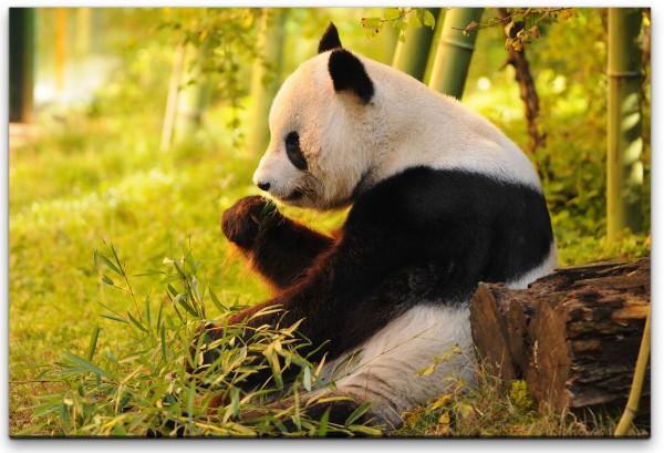 Panda Wandbild in verschiedenen Größen
