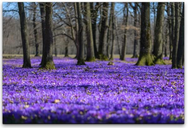 Die ersten Frühlingsblumen Wandbild in verschiedenen Größen