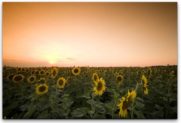 Dämmerung über Sonnenblumenfeld Wandbild in verschiedenen Größen