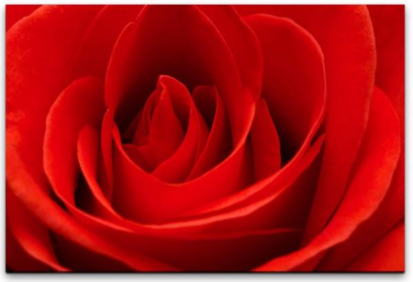rote Rose Wandbild in verschiedenen Größen