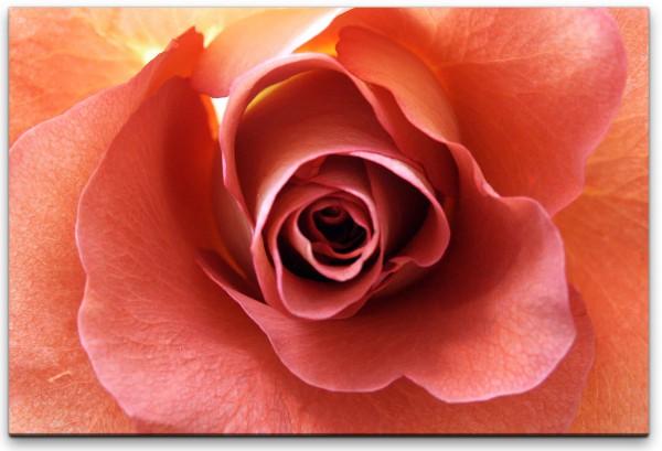 Rosenblüte Nahaufnahme Wandbild in verschiedenen Größen