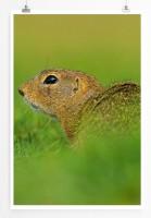 60x90cm Poster Tierfotografie – Europäischer Ziesel im Gras