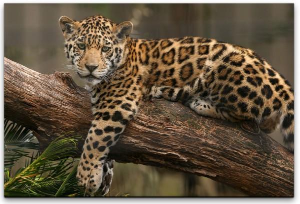 Jaguar auf einem Ast Wandbild in verschiedenen Größen