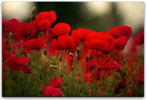 rote Blumen Wandbild in verschiedenen Größen