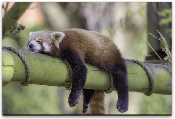 schlafender roter Panda Wandbild in verschiedenen Größen