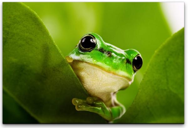 Frosch hinter Blättern Wandbild in verschiedenen Größen